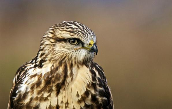 Картинка взгляд, птица, профиль, bird, ястреб, portrait, Buteo lagopus, Rough-legged hawk, Мохноногий канюк, зимняк