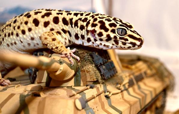 Картинка глаз, ящерица, танк, геккон, эублефар