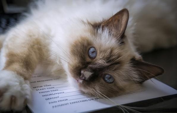 Картинка кошка, взгляд, мордочка, голубые глаза, Бирманская кошка, Священная бирма