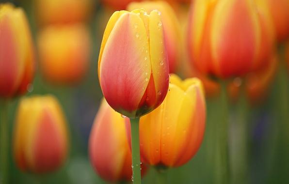 Картинка цветок, вода, капли, природа, луг, тюльпаны, flower, nature, water, drops, tender, Li Feng, Orange Tulips