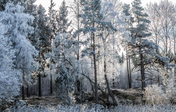 Картинка иней, лес, деревья