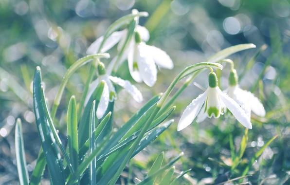 Картинка зелень, трава, макро, свет, цветы, природа, блики, земля, растения, весна, размытость, подснежники, белые, первоцвет