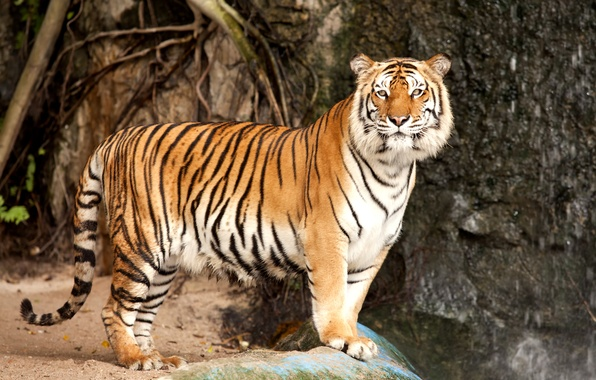 Картинка кошка, тигр, камень, хищник, амурский тигр