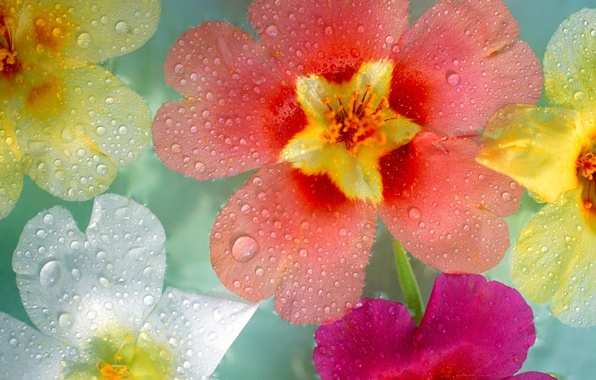 Картинка капли, макро, цветы, роса, разные