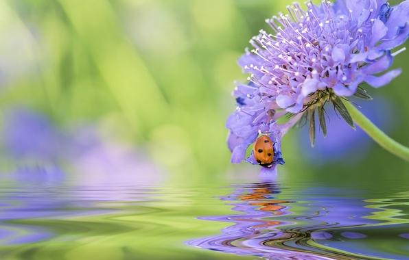 Картинка цветок, вода, макро, отражение, божья коровка, жук