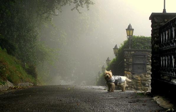 Картинка дорога, туман, улица, собака, утро, фонари, улочка