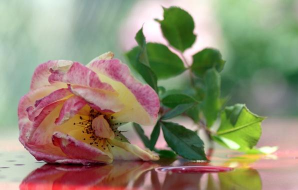 Картинка фон, розовая, роза, чайная