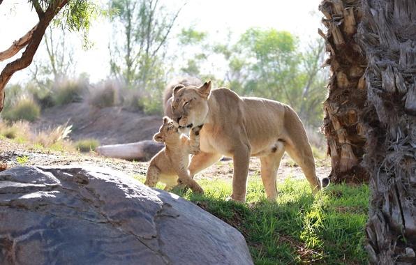 Картинка любовь, игра, хищники, малыш, семья, пара, ласка, детёныш, котёнок, дикие кошки, львы, львица, забота, львёнок, …