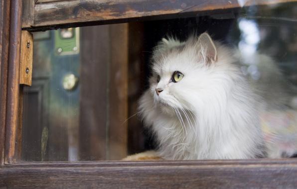 Картинка кошка, взгляд, окно, пушистая, белая кошка