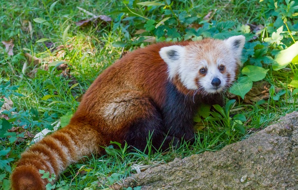 Красная малая панда фото