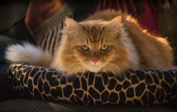 Картинка кошка, кот, взгляд, мордочка, пушистая, рыжий кот