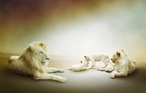 Картинка лев, белые, львы, львята, львица, играют, семейство