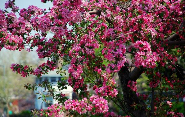Картинка дерево, весна, розовые, яблоня, цветение, цветки