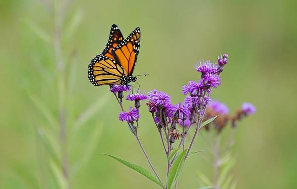 Картинка поле, цветок, бабочка, растение, крылья, луг, насекомое