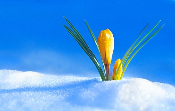 Картинка снег, весна, бутон, крокус