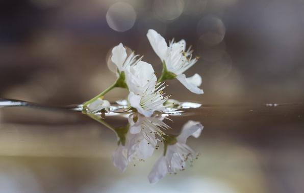 Картинка вода, цветы, отражение, ветка, слива