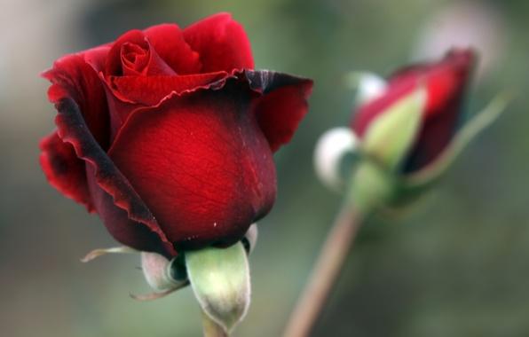 Картинка роза, лепестки, бутон, красная