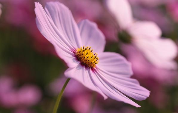 Картинка цветок, лето, макро, природа, лепестки, цветение, цветочек, космея