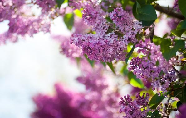Картинка небо, цветы, куст, весна, сирень