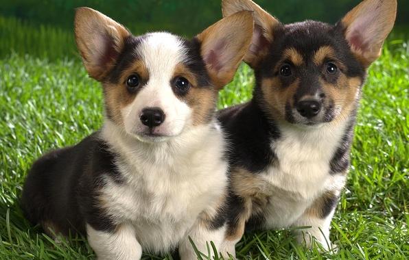 Картинка трава, мордочка, щенок, уши