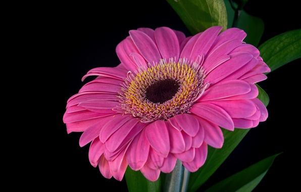 Картинка цветок, фон, лепестки, гербера