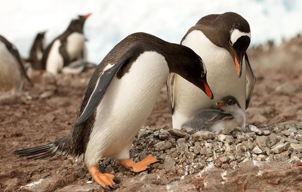 Картинка природа, пингвины, Антарктика