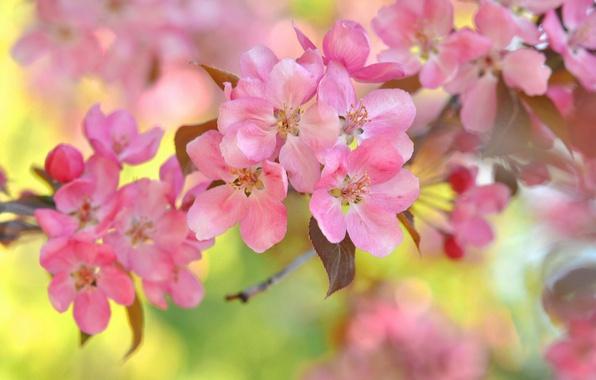 Картинка макро, вишня, ветка, цветение, цветки, боке