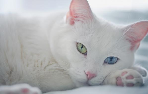 Картинка взгляд, мордочка, разные глаза, белый кот