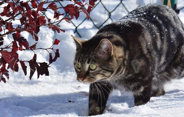 Картинка зима, кошка, кот, снег, ветки