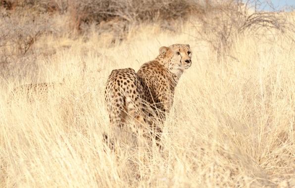 Картинка трава, взгляд, хищник, гепард, cheetah