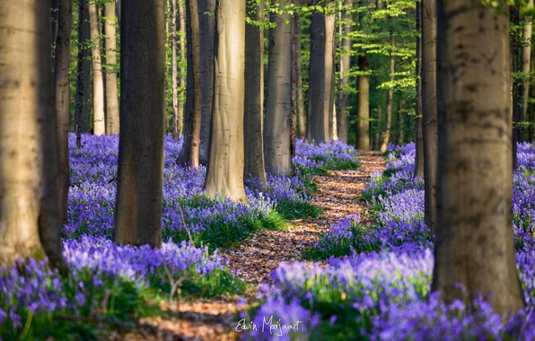 Картинка лес, цветы, весна, Апрель, Бельгия, Гиацинтоидес