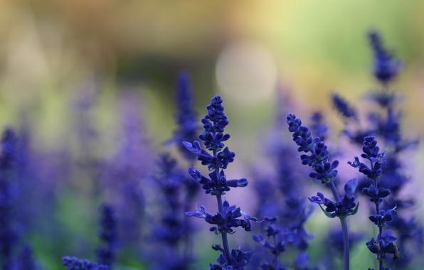 Картинка лето, макро, свет, цветы, природа, блики, фон, поляна, растения, размытость, синие, лаванда