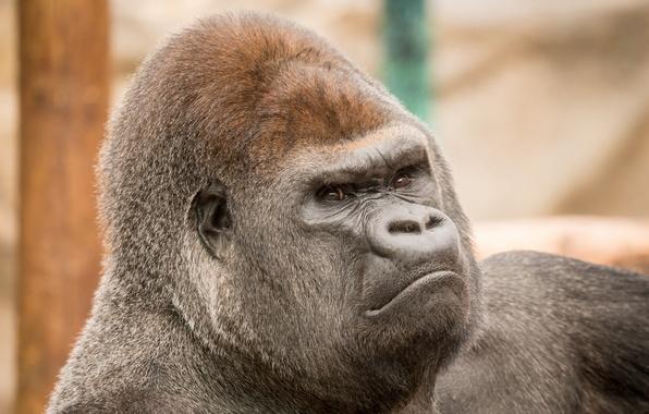 Картинка взгляд, обезьяна, зоопарк