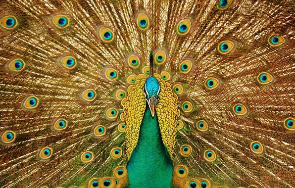 Картинка взгляд, птица, узоры, клюв, хвост, павлин, красивый