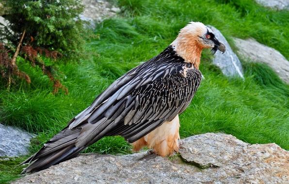 Картинка трава, взгляд, орел, камень, перья, клюв, Птица, стоит, глаза красные