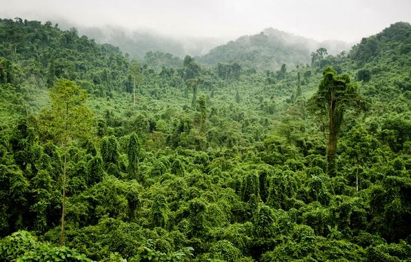 Картинка зелень, лес, деревья, туман, тропики, джунгли, Jungle