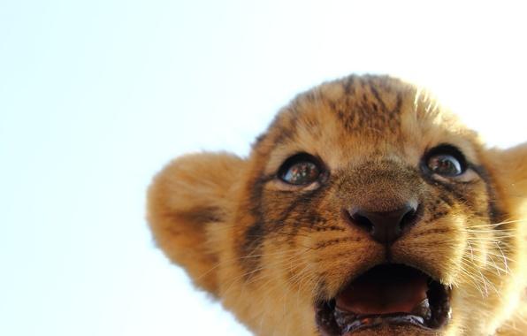 Картинка кошка, взгляд, мордочка, львенок