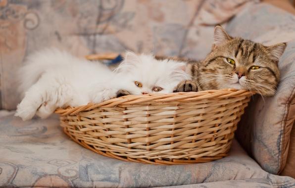 Картинка корзина, перс, котёнок