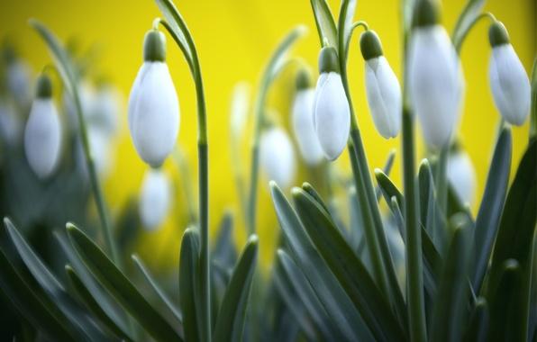 Картинка трава, макро, желтый, фон, весна, размытость, Подснежники