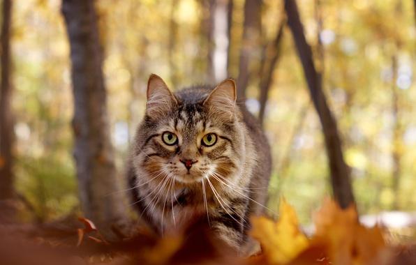 Картинка осень, кот, взгляд, мордочка, боке, Мейн-кун