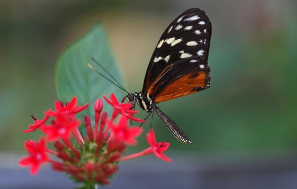 Картинка цветок, бабочка, листок, крыло, усики