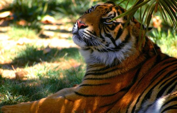 Картинка полоски, тигр, отдых, тень, хищник