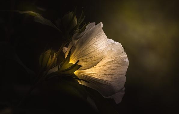 Картинка белый, цветок, свет, green, dark, light, rose, white, flower, art, macro, petal, flora, floral, Paul …