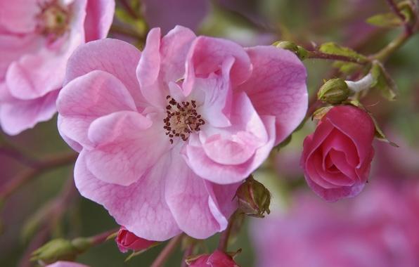 Картинка цветы, ветка, шиповник, розовые, бутоны