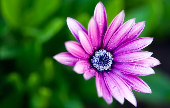 Картинка цветок, макро, роса, краски, colors, лепестки, flower, macro, боке, bokeh, 2560x1600, dew, petals