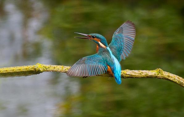 Картинка птица, цвет, крылья, ветка, клюв, зимородок