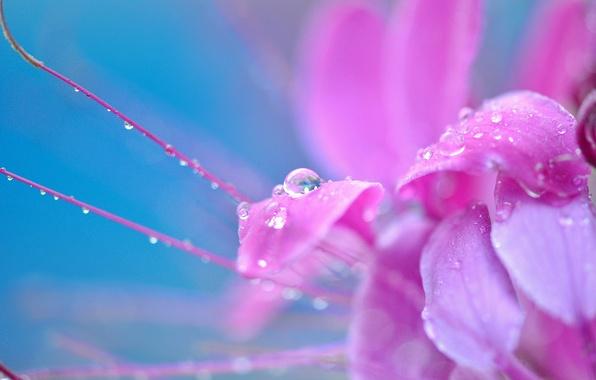 Картинка цветок, капли, макро, цветы, роса, фон, розовый, widescreen, обои, капля, wallpaper, широкоформатные, background, полноэкранные, HD …