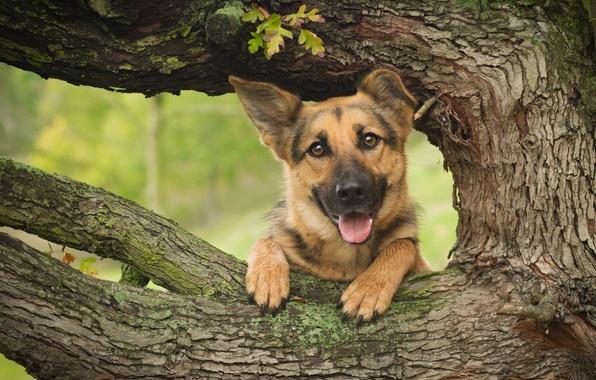 Картинка морда, дерево, собака, овчарка, Немецкая овчарка