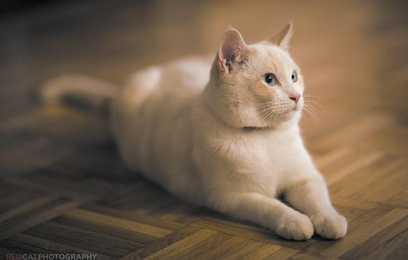 Картинка кошка, кот, морда, отдых, паркет, лежит, белая