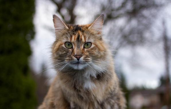 Картинка кот, взгляд, фон, портрет, трехцветный